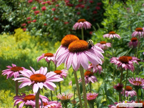 Coneflower with Happy Bee
